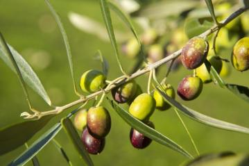 Olives right before the harvest
